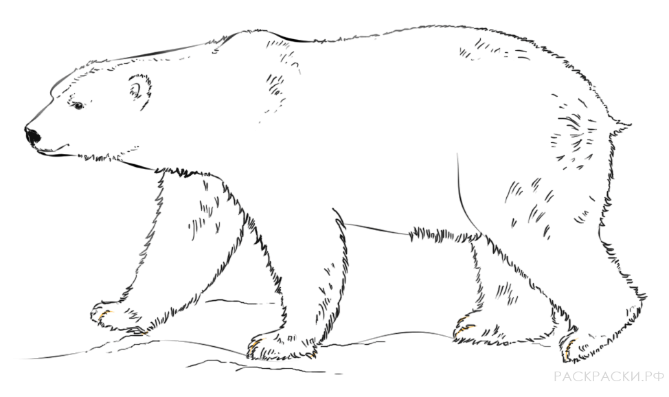 свободно картинки белого медведя карандашом спуска кафе попадаешь