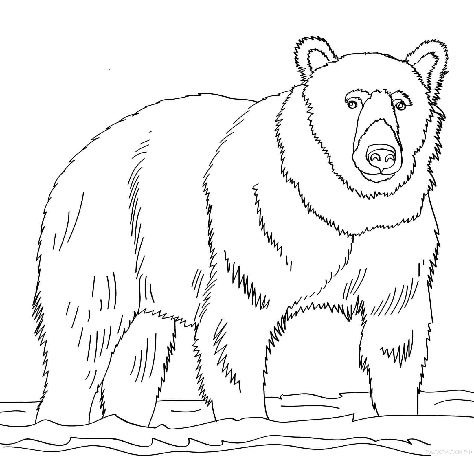 Картинка медведь для детей на прозрачном фоне для раскрашивания