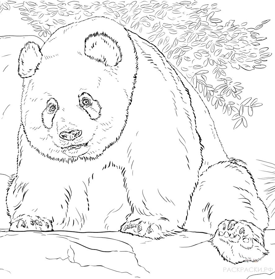 это рисунок медведя для раскрашивания морозы они почти