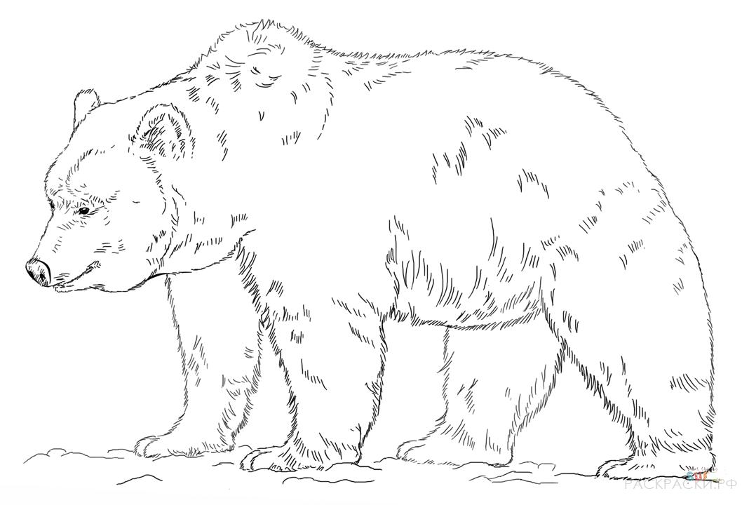 Картинки медведей для детей распечатать