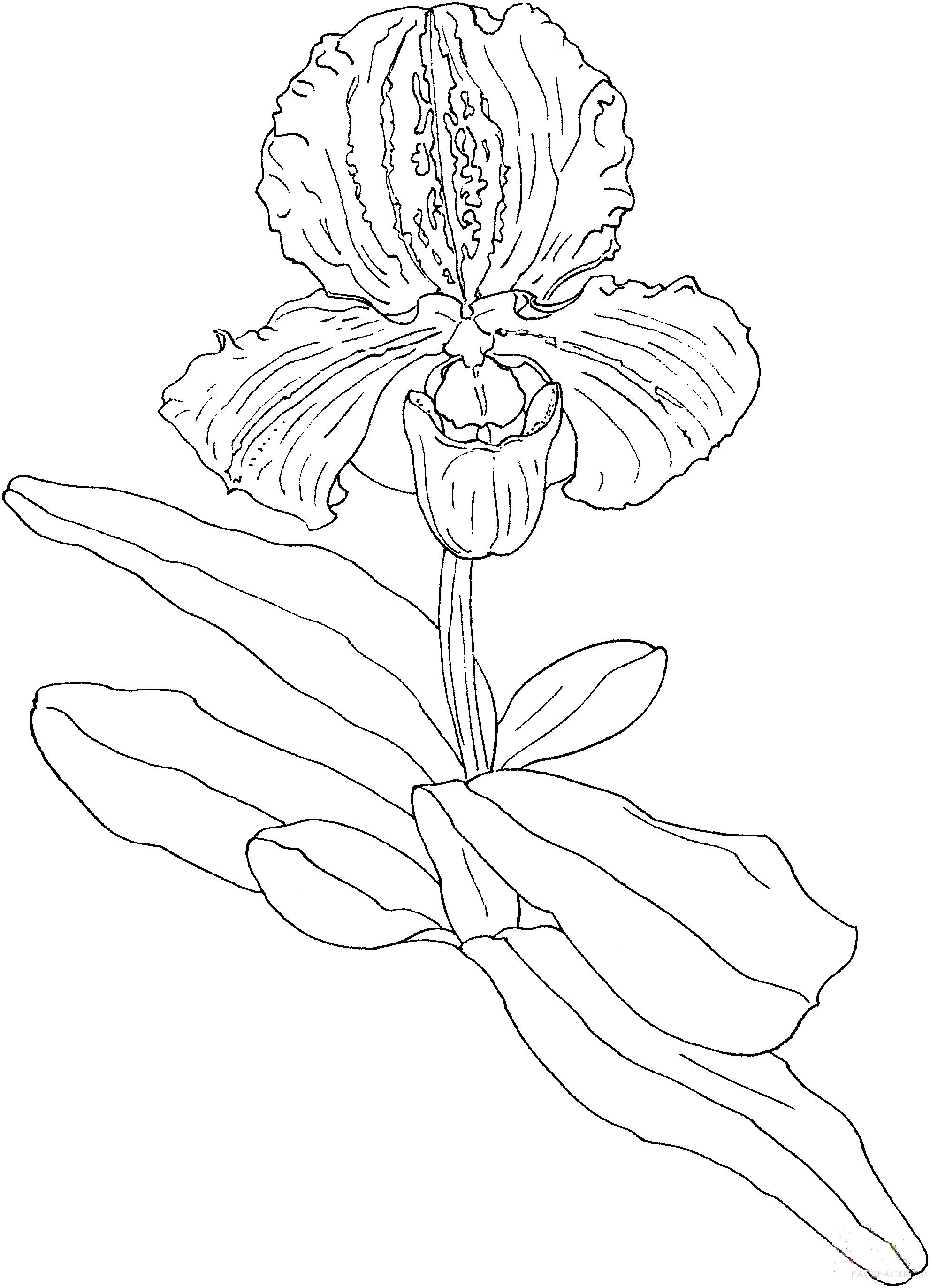 Орхидея картинка для детей нарисованные