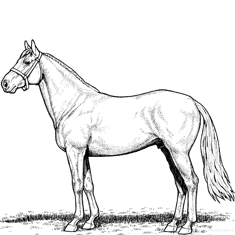 картинки лошади не раскрашенные постоянно