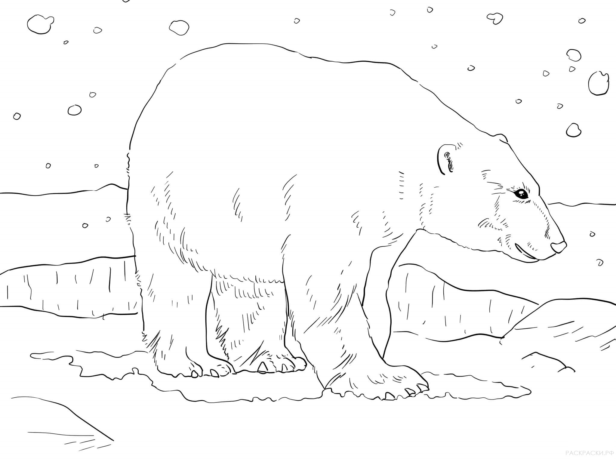 Realistic polar bear coloring pages