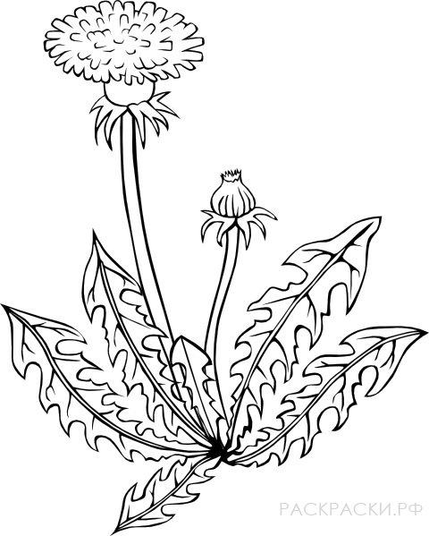 Раскраска Одуванчик цветёт