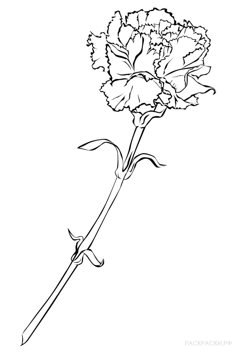 Раскраска Цветок гвоздика